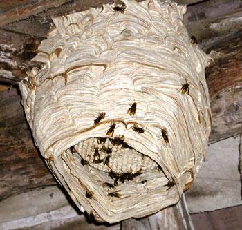 Come rimuovere un nido di vespe in sicurezza - GreenStyle